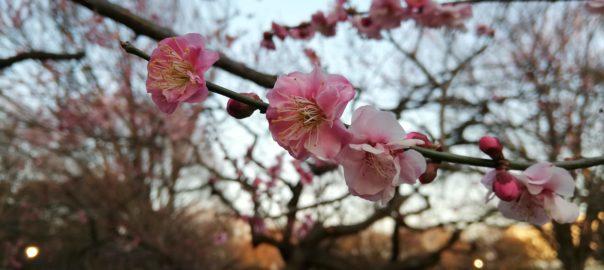 砧公園の梅